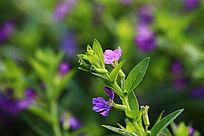 粉紫色小花