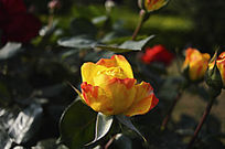 黄色蜡染月季