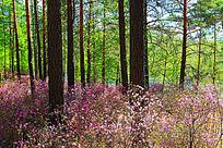 杜鹃松林风景