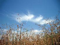 蓝天下的竹林