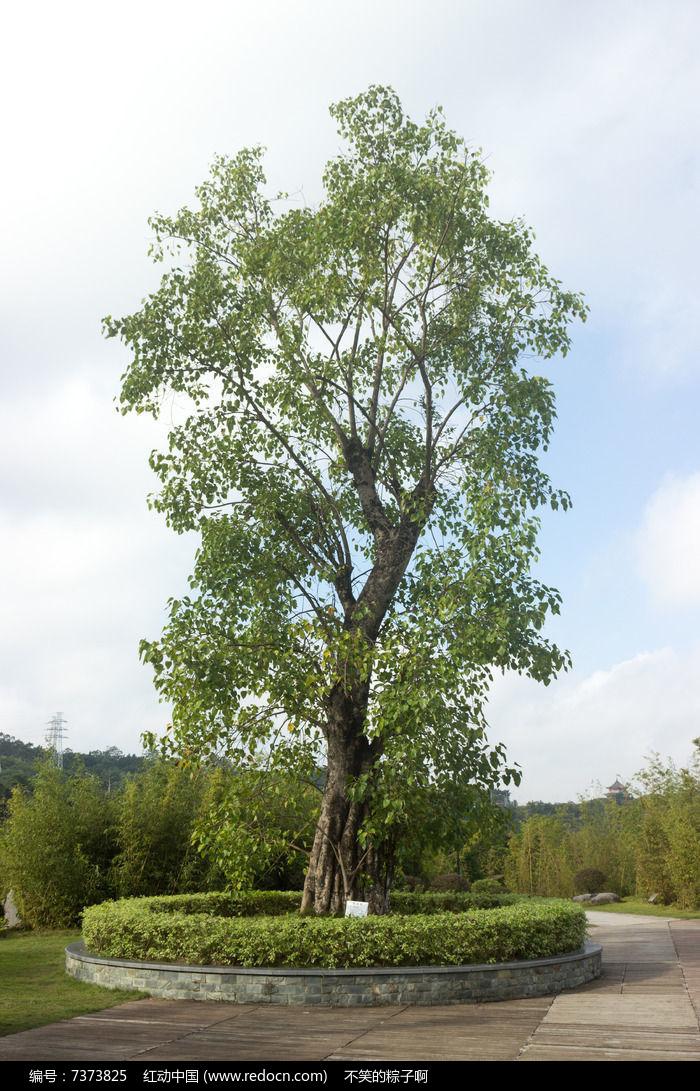 原创摄影图 动物植物 树木枝叶 菩提树