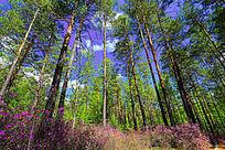 森林杜鹃花