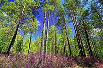 挺拔的杜鹃松林