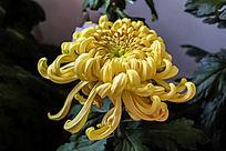 杏黄色菊花