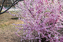 一颗樱花树