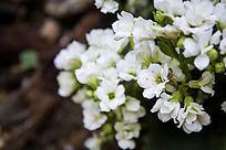 白色的多肉花卉