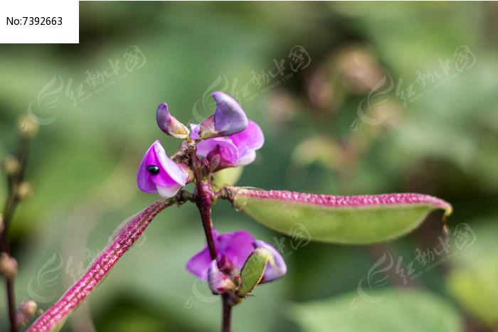 扁豆摄影图图片
