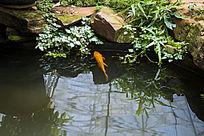 池塘里的黄色锦鲤