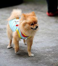 宠物狗 博美