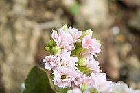 淡粉色的多肉花卉