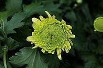 俯拍绿色的菊花