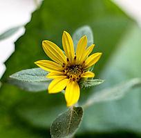 刚盛开的小向日葵