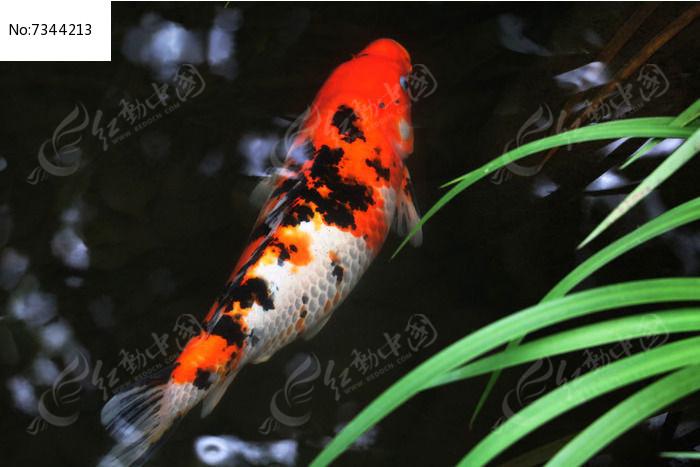 观赏鱼图片,高清大图_水中动物素材