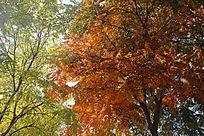 红绿交接的树叶