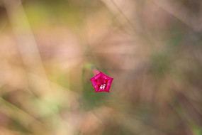 红色的茑萝松花