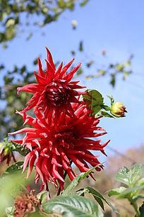 九鼎龙泉寺中的红色大丽花