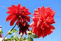 蓝天下的红色大丽花