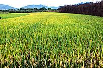 秋天的稻田