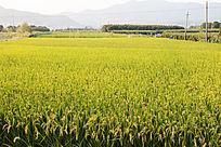 秋天的水稻田
