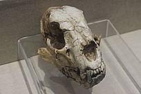 通古尔假猫头骨化石