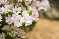 一簇淡粉色的多肉花卉