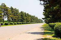 道路两旁的松树