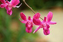粉红石斛兰