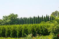 整齐的松树