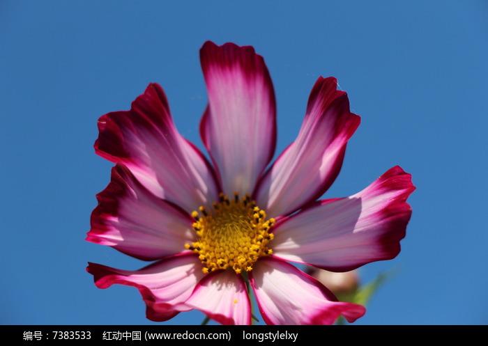 原创摄影图 动物植物 花卉花草 美丽的渐变色花