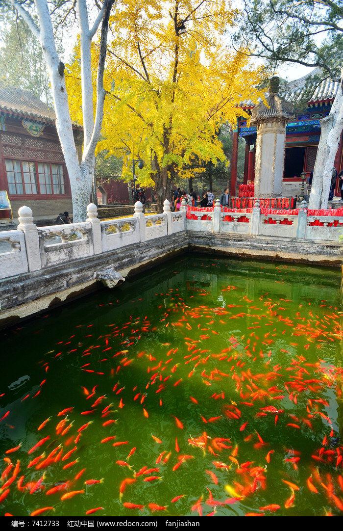 池塘金鱼与银杏树图片