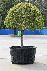 打吊针的盆栽半球树