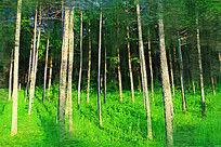 电脑油画《松林风景》