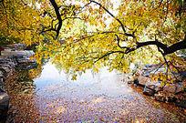 水中落叶与枝头黄叶