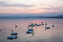 夕阳天鹅湖中的天鹅