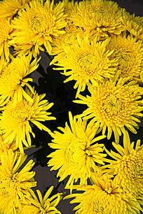 盛开的黄色菊花背景