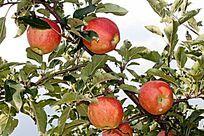 树叶下的苹果