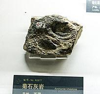 西藏菊石灰岩