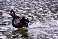 展翅奔跑时的黑天鹅
