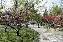 公园桃花开
