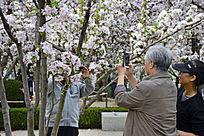 海棠花拍照的老人