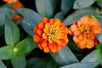橙色的花朵