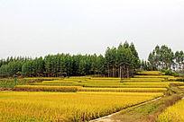 稻田丰收景象