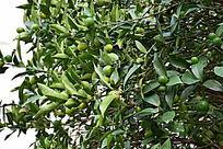 结满绿色橘子的橘子树