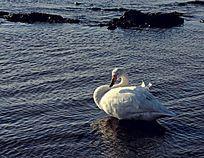 白天鹅梳理羽毛