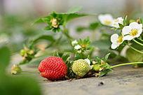 即将成熟的草莓