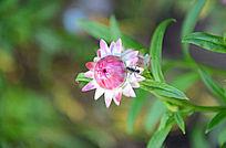 蚂蚁爬上麦秆菊