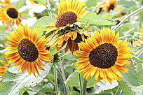 三朵美丽的向日葵