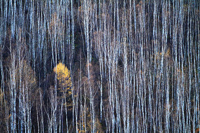 晚秋的白桦林