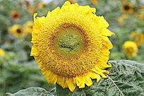 一朵美丽的向阳花