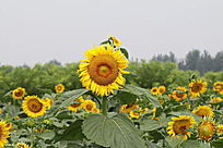 一片向日葵花